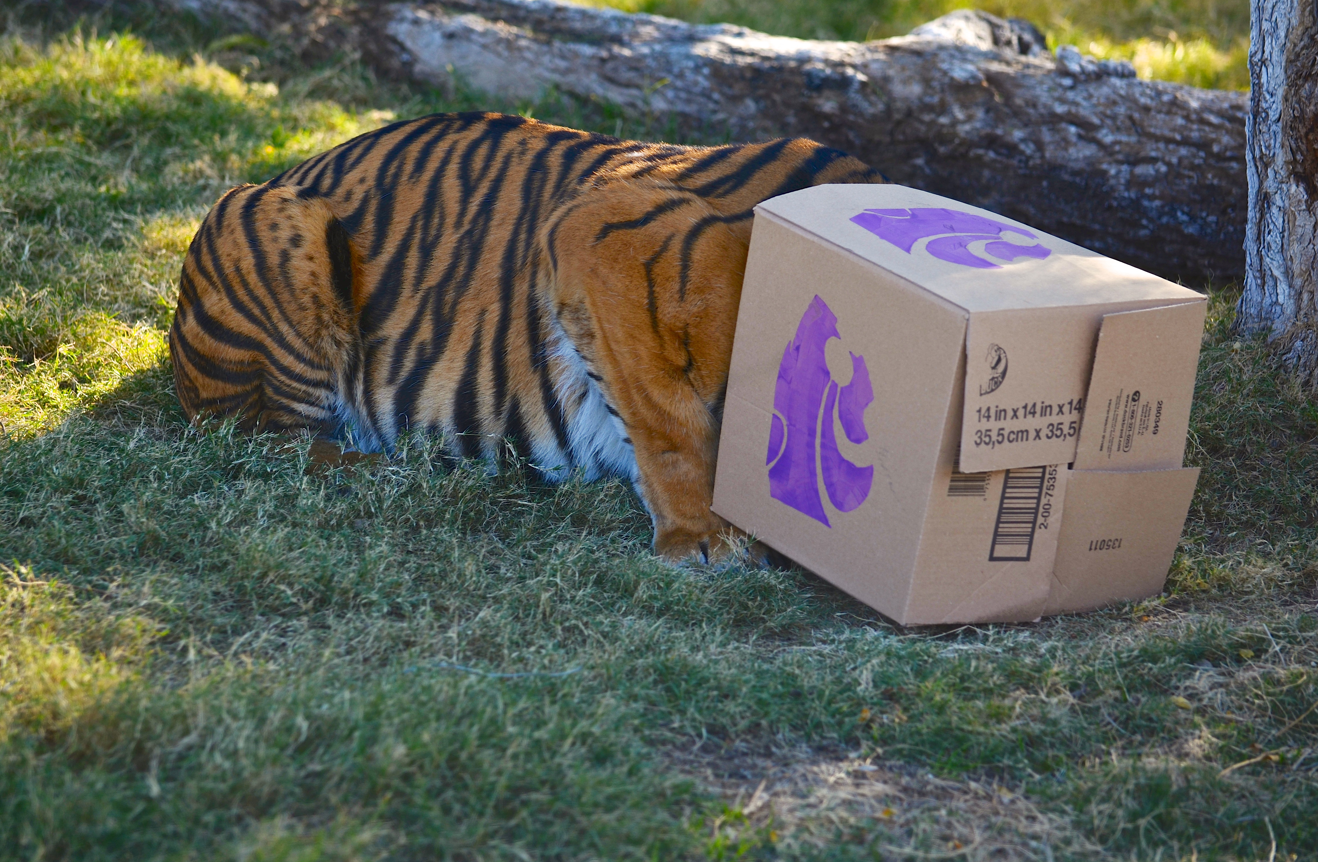 Phoenix Tiger Predicts Wildcat Victory