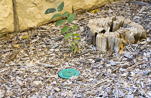 For 25 years the Entomology Department has been fighting termites. This week they started placing bait traps outside of the building. The traps work by luring the termites into taking the poison back into their hive. (Alex Shaw | The Collegian)