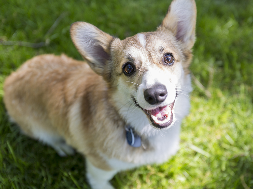 A day in the life of Cayenne, the first Corgi | The Collegian