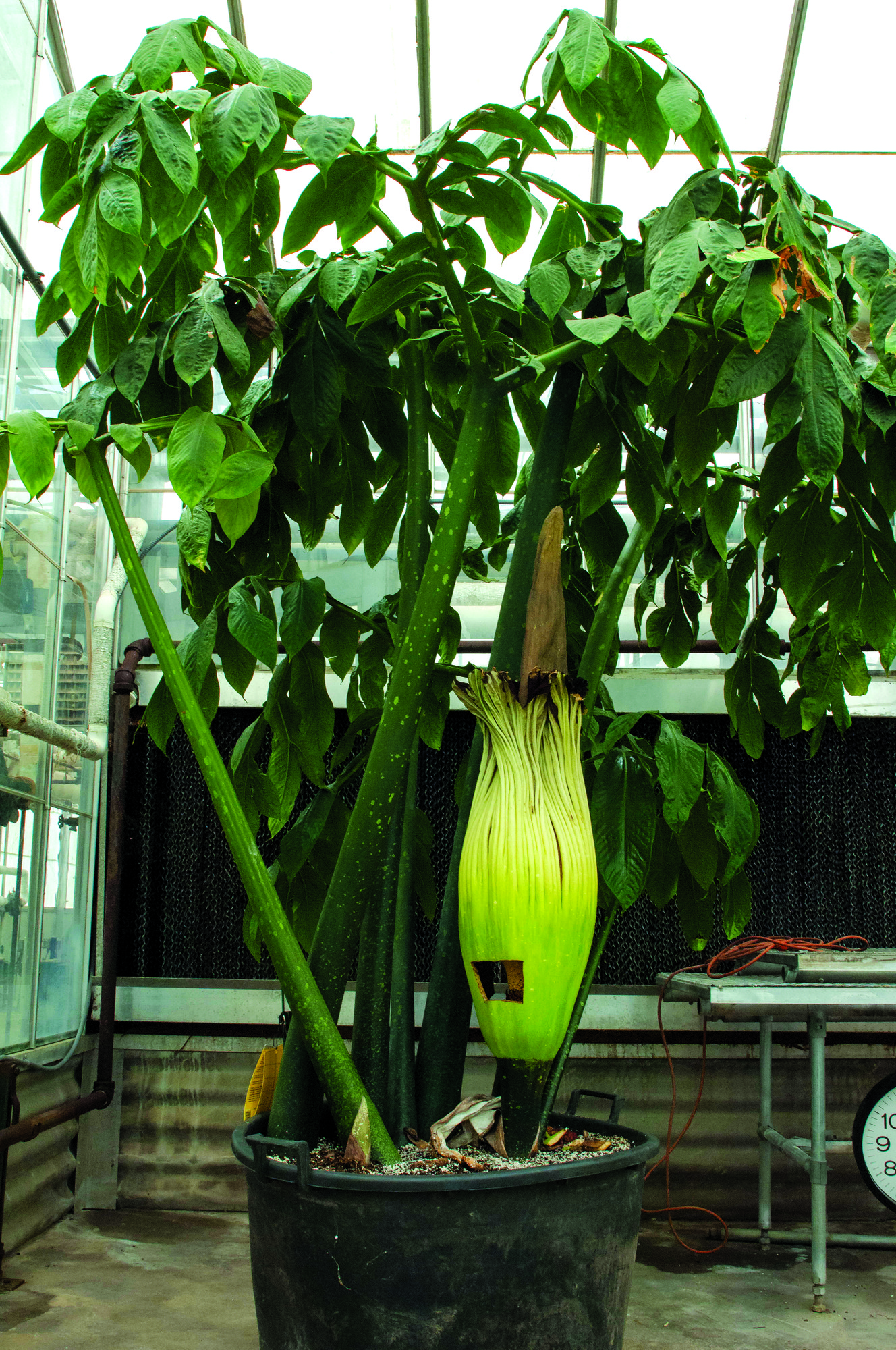 Rare Corpse Flower Blooms In K State Greenhouse The