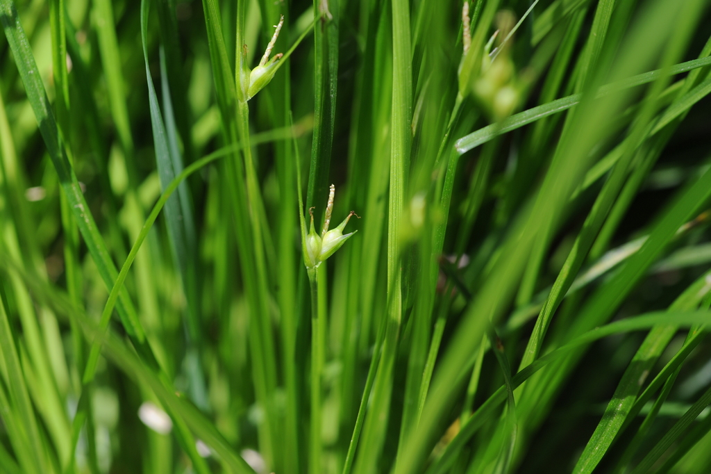 James' Sedge (Carex jamesii) found in Mark Mayfield's yard. (Photo courtesy of Ryan Donnelly and Mark Mayfield)